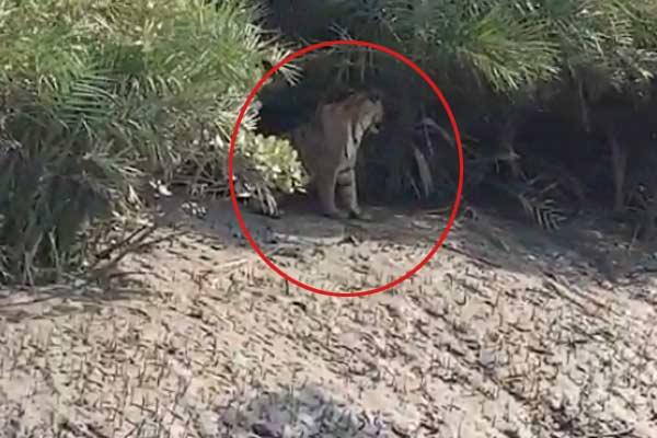 Tiger seen in Sundarban on tuesday