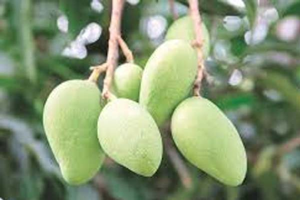Expert advises farmers on how to keep bugs of mango farms