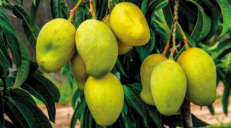 Expert advises farmers on how to keep bugs of mango farms | Sangbad Pratidin