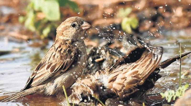 Number of Sparrows are decreasing as unplanned civilization is going on  Sangbad Pratidin