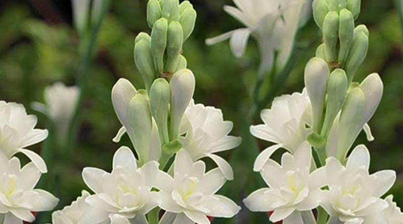 How Polythene Helps to increase tuberose farming.