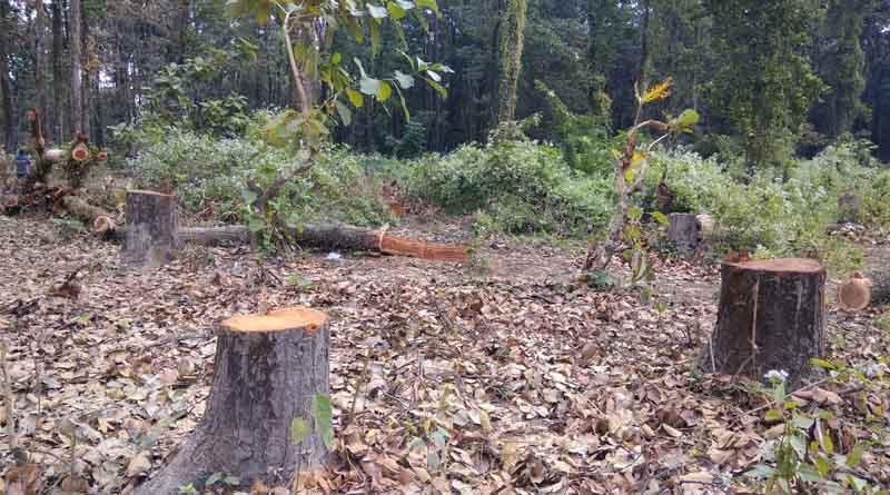A forest mafia faces of a fine of 1 crore 21 lakh for cutting down 2 Sagwan trees! । Sangbad Pratidin