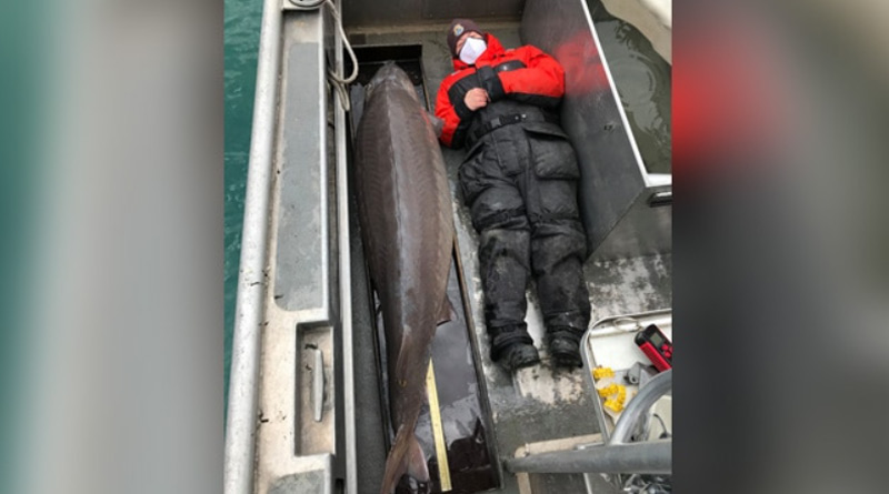 100-Year-Old 'Monster' Fish, Weighing Over 90 Kg, Caught In Michigan | Sangbad Pratidin