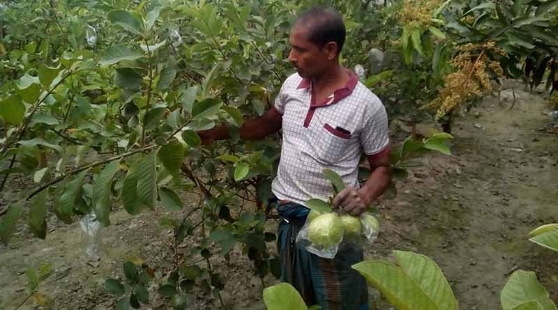 Farmers can cultivate Guavas this way to earn more | Sangbad Pratidin