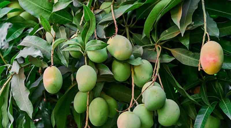Cyclone Yaas may damage mango ।Sangbad Pratidin