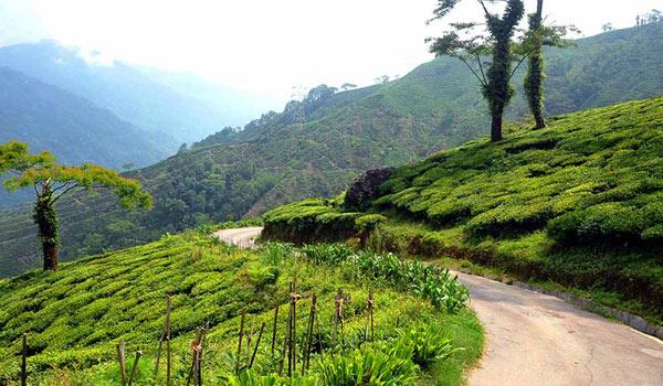 Mim tea Garden: A offbeat destination of Bengal between Sukiapokhri and Lepchajagat in Darjeeling