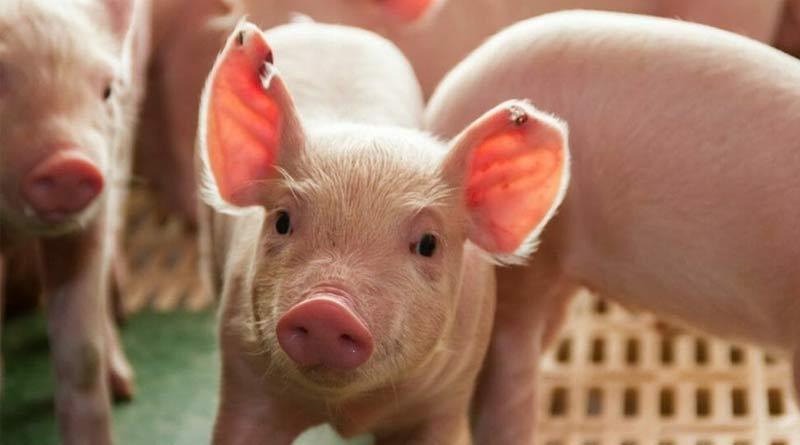 African Swine Fever alert in Alipurduar ।Sangbad Pratidin