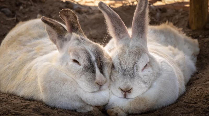 Offbeat News: Video of Rabbit couple getting married lavishly goes viral | Sangbad Pratidin