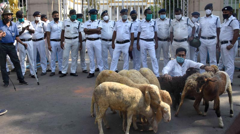 Protesters bring lambs to Raj Bhavan in unique protest | Sangbad Pratidin