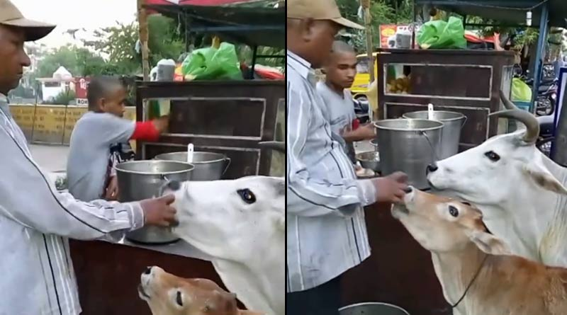 A video of a cow and its calf enjoying golgappas is doing rounds on social media ।Sangbad Pratidin