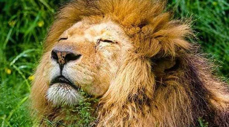 After lioness, 12-year-old lion dies of COVID-19 at Tamil Nadu zoo | Sangbad Pratidin