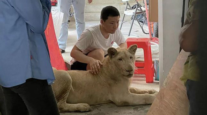 Pet lion of Chinese owner confiscated in Cambodia | Sangbad Pratidin