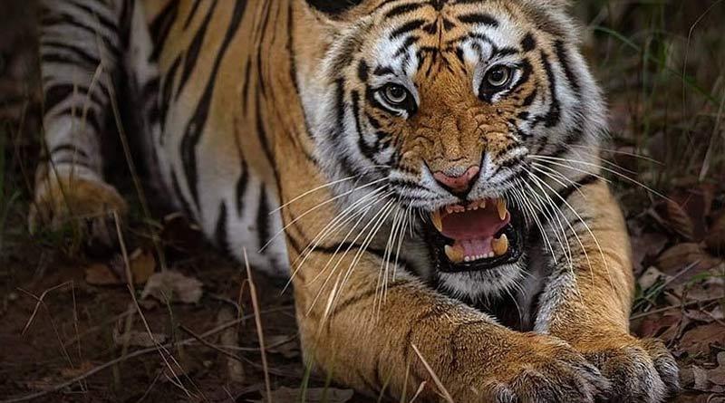 A fisherman of Patharpratima killed by tiger | Sangbad Pratidin
