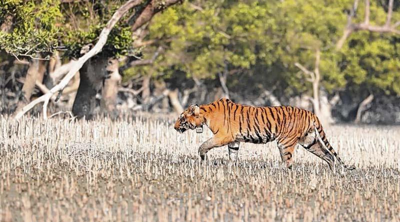 Royal Bengal Tiger with radio collar missing from Sundarban । Sangbad Pratidin