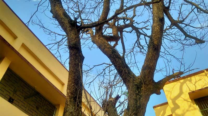 Bardhaman Teacher files complain for mysterious death of a tree । Sangbad Pratidin