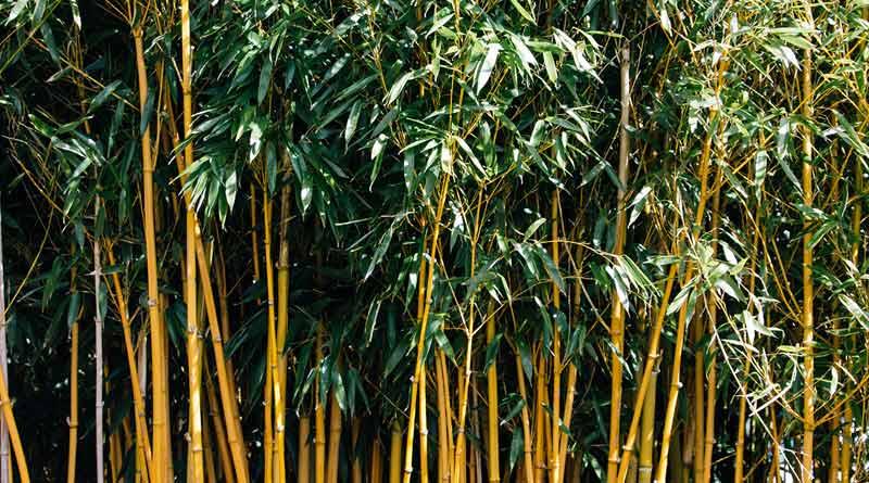 Administration cuts bamboo trees over fear of COVID-19 spread in Udalguri, Assam   Sangbad Pratidin