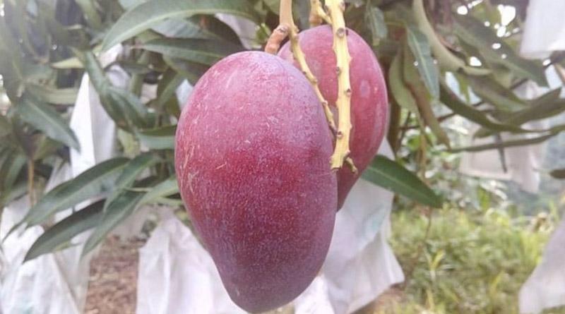 World's most expensive mango miyazaki cultivated in Bangladesh | Sangbad Pratidin