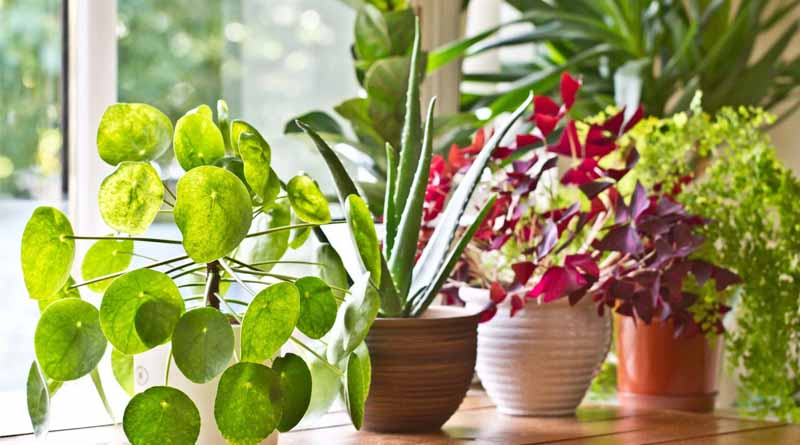 How do you care for indoor plants | Sangbad Pratidin