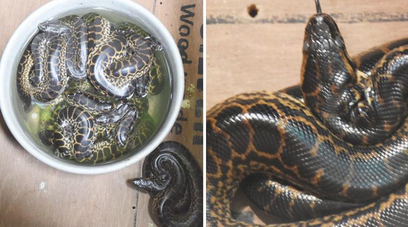 Alipore zoo gets new nine babies of anaconda just before 7 days | Sangbad Pratidin