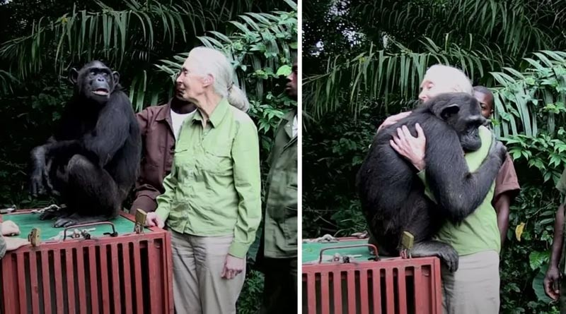 Chimpanzee hugs his rescuer after being freed from the cage, old video goes viral | Sangbad Pratidin