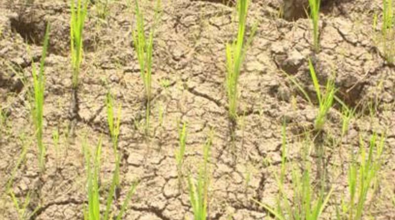 Dry paddy field even at rainy season makes farmers of Ghatal worried | Sangbad Pratidin