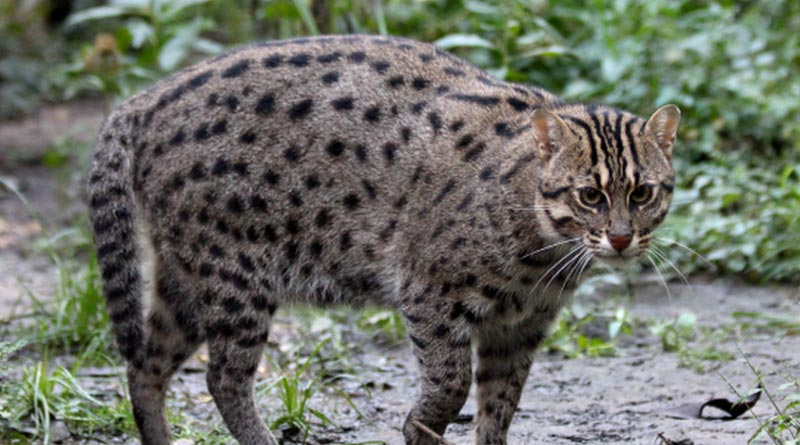 New Alipur Zoo will take initiative to conserve fishing cats by making enviornment | Sangbad Pratidin