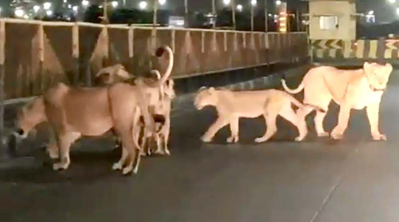 Lions walk on Gujarat roads, video goes viral | Sangbad Pratidin