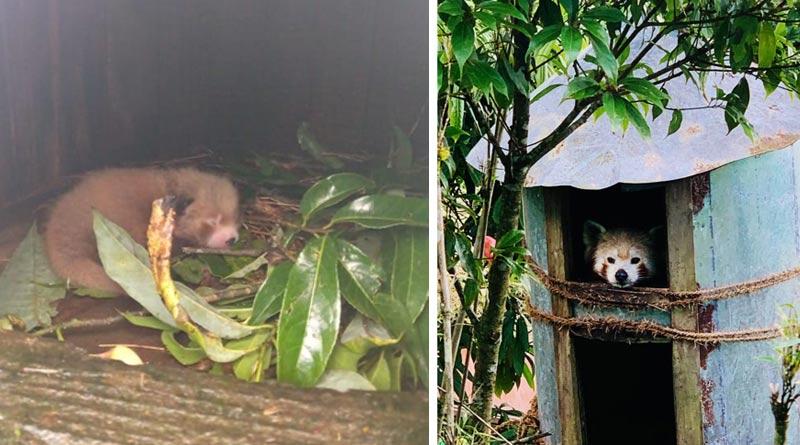 Red Panda 'Yeshi' gives birth to a baby at Darjeeling Zoo | Sangbad Pratidin