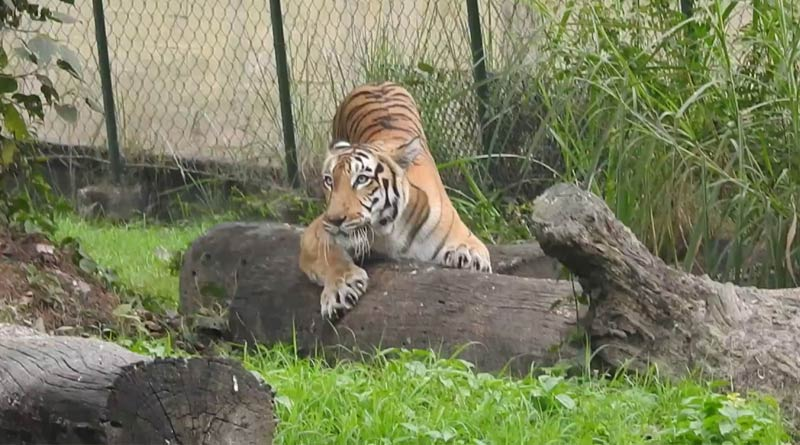 Five Royal Bengal tigers adopted from Alipore zoo | Sangbad Pratidin