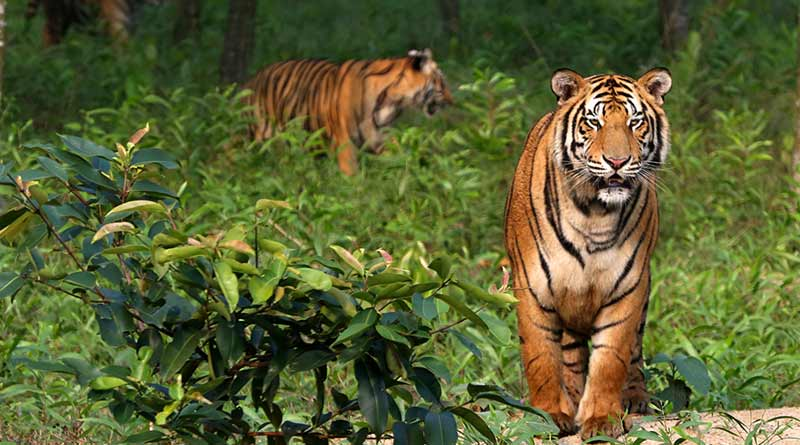 International Tiger Day : Here are some important fact about India's tiger reserves । Sangbad Pratidin