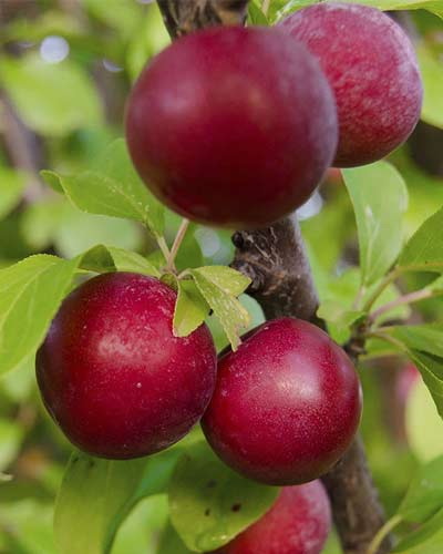 What are the benefits of having fruit trees on the side of road? Know experts opinion
