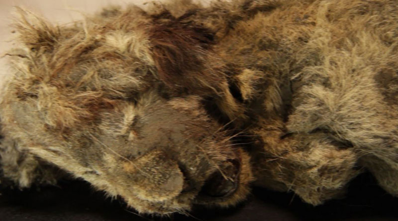 Perfectly-preserved lion cub found frozen in Siberian cave is 28,000-years-old। Sangbad Pratidin
