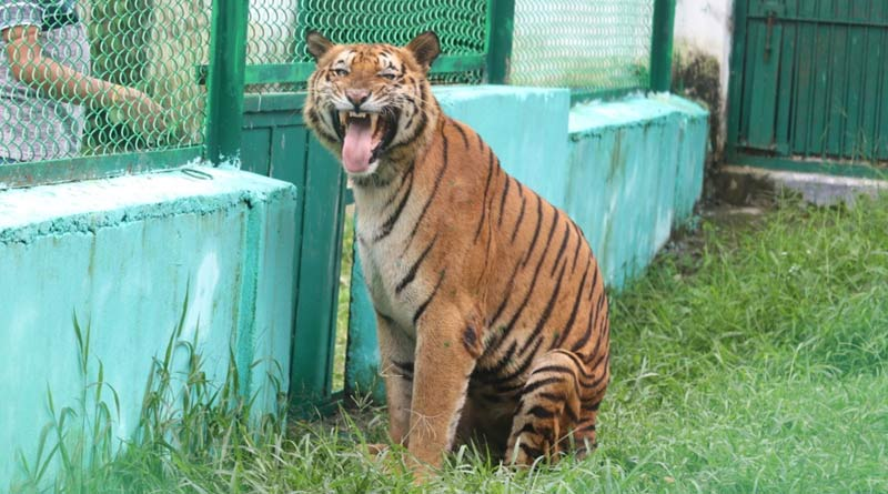 World oldest tiger: A royal bengal tiger of age 26 records as the oldest and birhtday is celebrated today | Sangbad Pratidin