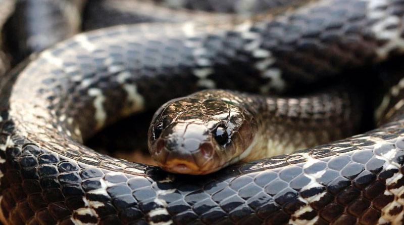 Odisha man bites snake and it dies। Sangbad Pratidin