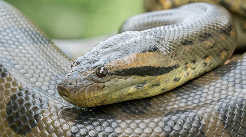 Kolkata zoo to get green anaconda   Sangbad Pratidin