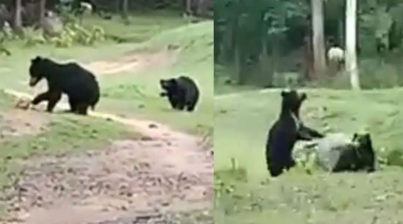 Two wild bears spotted running around and playing with a football in Odisha's Nabarangpur, video goes viral। Sangbad Pratidin