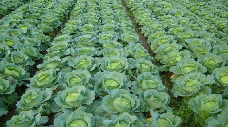 UK Firm Offers Rs 63 Lakh Annual Salary To Pick Cabbage And Broccoli | Sangbad Pratidin