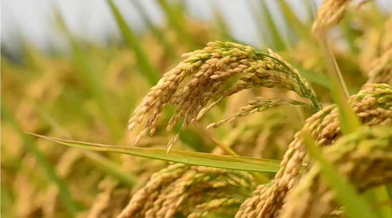 Kalna farmers cultivating Govindabhog rice, bagging profit | Sangbad Pratidin
