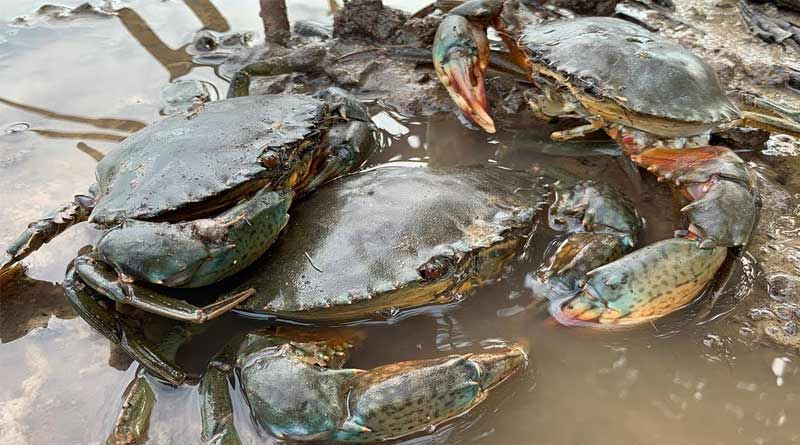 Popularity of crab farming in 'box-crab technology' is increasing in West Bengal | Sangbad Pratidin