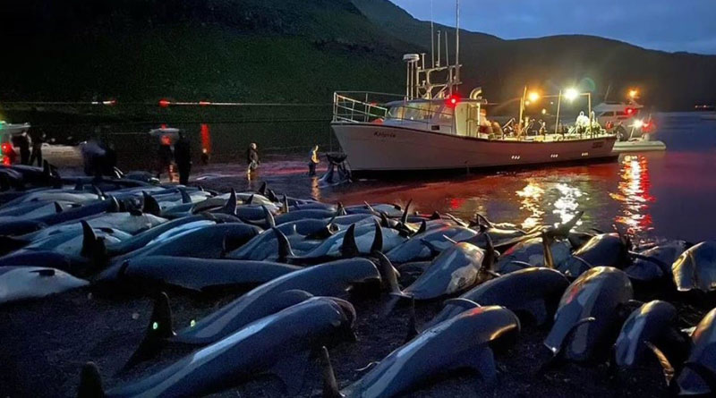 Culling of 1,400 dolphins in Faroe Islands triggers outrage। Sangbad Pratidin