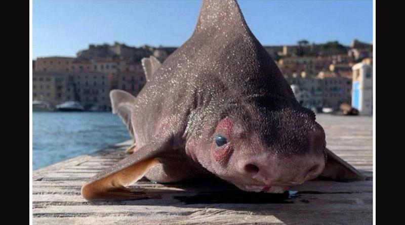 'Pig-Faced' Shark sought in Italy, pics are viral | Sangbad Pratidin