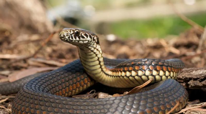 Forest department issues guidelines to catch snakes for collecting anti venom ingredient | Sangbad Pratidin