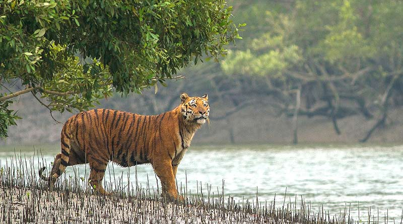 Sundarban to open doors from October 1 | Sangbad Pratidin