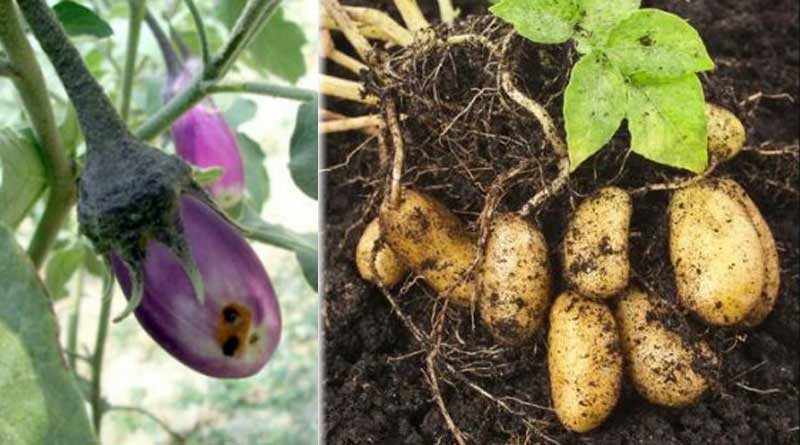 Soil-borne diseases cause damage to crops, find ways to solve them | Sangbad Pratidin