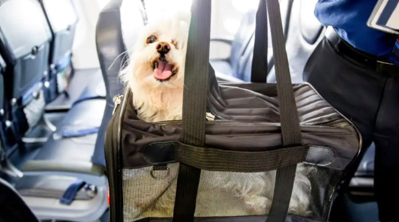 Man Spends Over Rs 2.5 Lakh to Book Entire Air India Business Class Cabin for his Pet Dog | Sangbad Pratidin