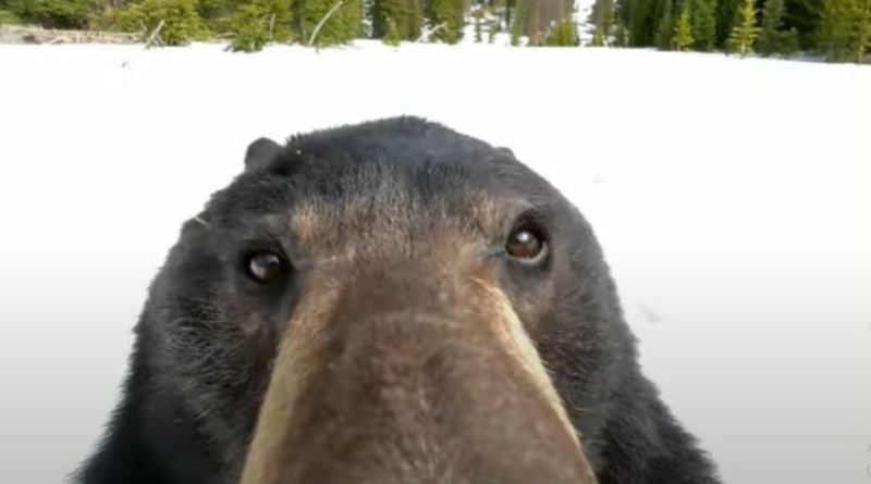 A bear gets curious after finding a GoPro camera in snow। Sangbad Pratidin