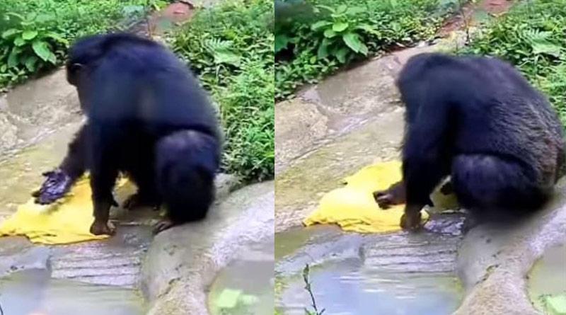 Chimpanzee washes clothes in desi style like humans। Sangbad Pratidin