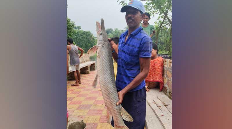 Fishermen catch Alligator Gar at off Diamond Harbour coast | Sangbad Pratidin