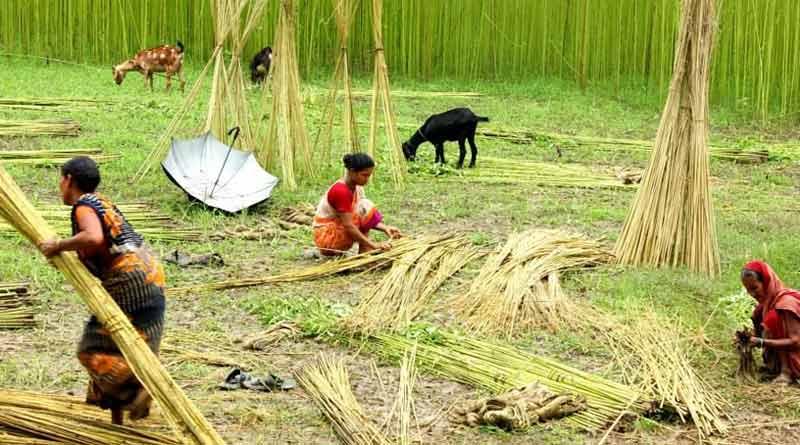 Registration is mandatory for jute cultivation । Sangbad Pratidin