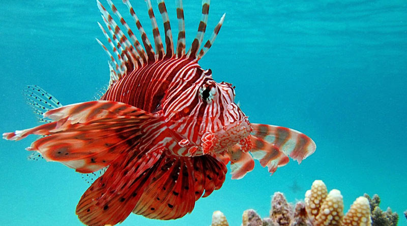 Man catches deadly 'lionfish' that can paralyse and kill humans। Sangbad Pratidin